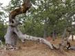 Old Scrub Oak