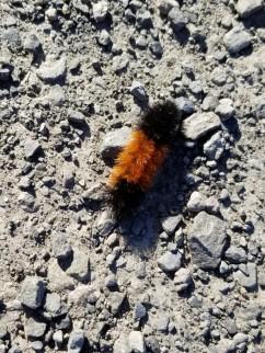 Caterpillar (Medium)