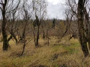 Grass and Cottonwoods at Clothing Optional Beach Area (Custom)