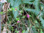 First Salmonberry Blooms (Custom)