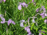 Irises (Custom)