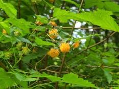 Salmonberry (Custom)