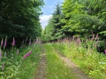 Foxglove lined Forest Road (Custom)